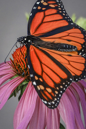 Monarch Butterfly, #1904