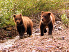 Grizzly cubs in Alaska  - #0028