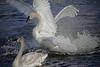 Splashing Trumpeter Swan, #0612