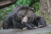 Grizzly at rest in Washington State  - #0125