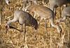 Sandhill Cranes - Socorro, NM - Bosque del Apache, #0231