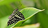 Tailed Jay Butterfly, #0204