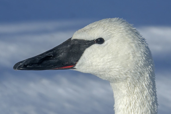 Trumpter Swan, #1843