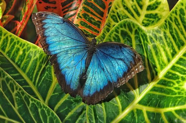 Blue Morpho, #1828