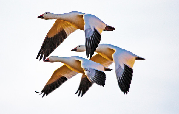 Snow Geese on the wing, #0012