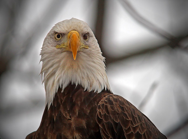 Bald Eagle in Red Wing, Minnesota, #0629