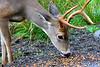 The deer in Washington State  - #0131
