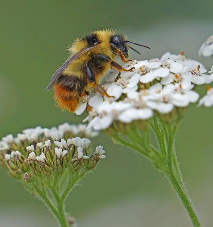 Bumble bee on a wildflower, Denali National Park, Alaska, #0435