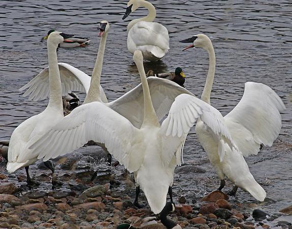 Dancing Swans; #1349