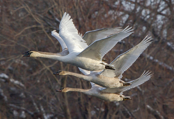 Trumpeter Swan and Cygnets - #0777