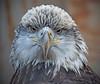 Juvenile Bald Eagle in Minnesota, #0618