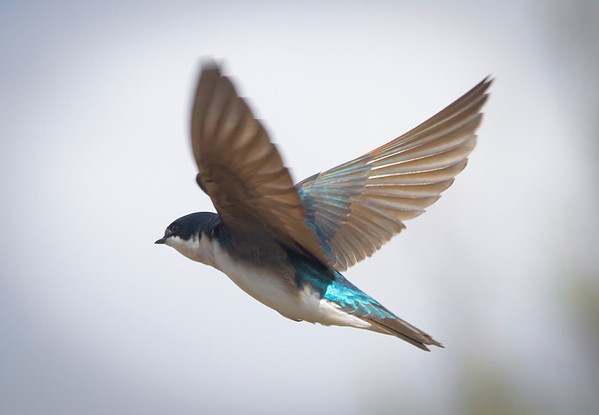 Tree Swallow in Shoreview, Mn. - -#0337