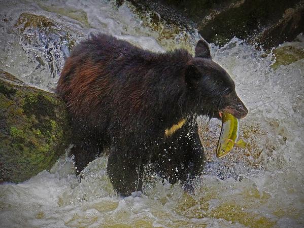 Black bear fishing for salman, Anan Creek, Alaska, #0451