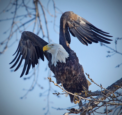 Bald Eagle in Red Wing, Minnesota, #0632