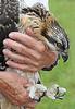 Juvenile Osprey at banding - #0191