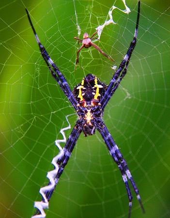 Banana Spiders, male (small) and female (large) - Maui, Hawaii  - #0033