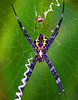 Banana Spiders, male (small) and female (large) - Maui, Hawaii  - #0033