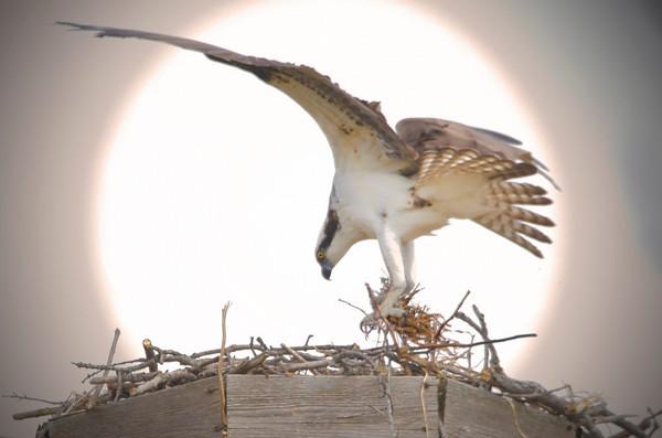 Nesting osprey in Shoreview, Minnesota, Grass Lake - #0339