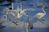 Trumpeter swans, #0597