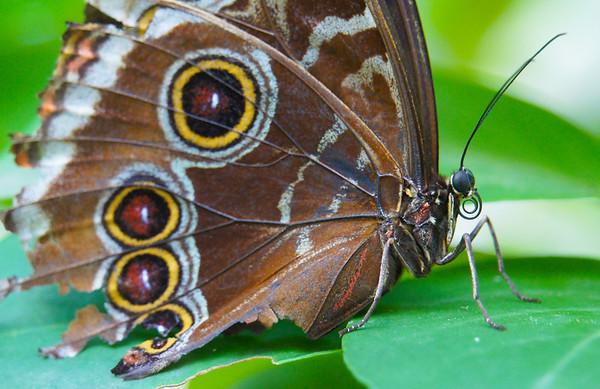 Buckeye Butterfly, #0202