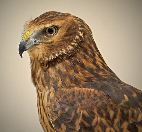 Harrier Hawk, Minnesota Raptor Center, #0617