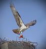 Nesting osprey in Shoreview, Minnesota, Grass Lake - #0334