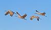 Sandhill Cranes, Socorro, NM, Bosque del Apache, #0237