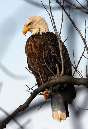 Bald Eagle, near Lake Pepin, Redwing, Minnesota - #0021