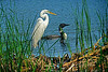 Egret and loon on Snail Lake, Mn., #1773
