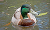 Amsterdam, Mallard Duck, , #0353