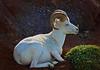 Dall Sheep in Denali, Alaska, #0429