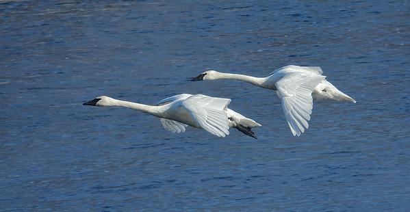 Inflight Trumpter Swans over Mississippi River; #1710