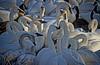 Trumpeter Swan - #0642