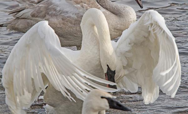 Trumpeter swan dominance, #0774