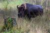 Bison on the range in Washington State  - #0123