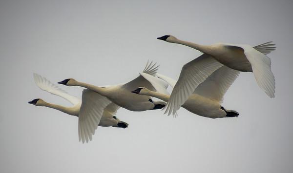 Trumpeter swans, #0645