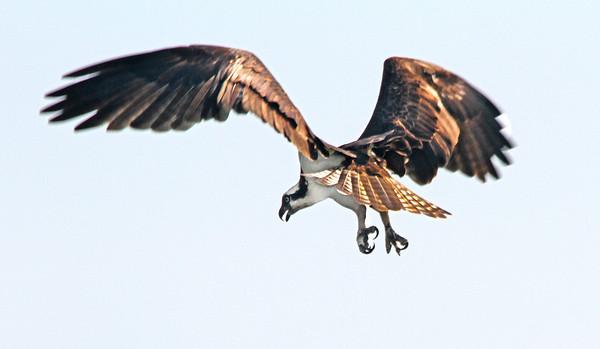 Female Osprey, St. Paul, Minnesota  - #0017