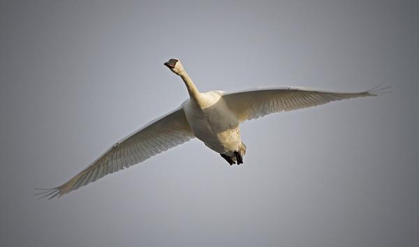 Trumpeter Swan, #0776