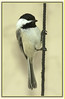 Chickadee on a string  - #0007