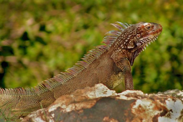 Iguana in St. John, Virgin Islands - #0158