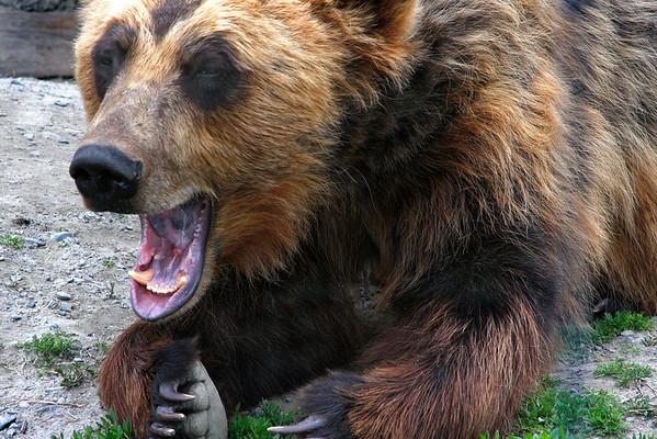 Alaskan Grizzly Bear  - #0026