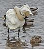 Trumpeter swan preening, #0647