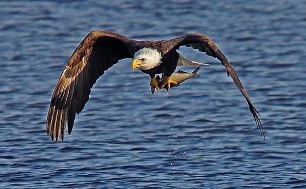 Bald Eagle in Minnesota, #0626