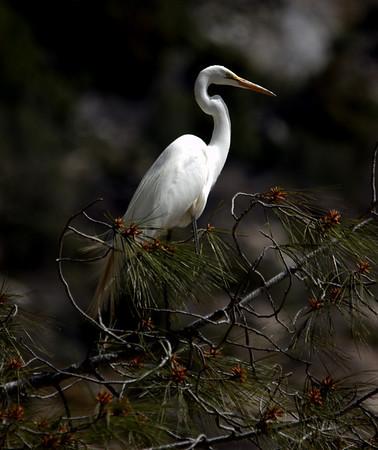 White Heron - Yosemite, Hetch Hetchy, California  - #0006