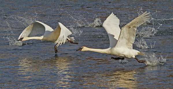Swans Lift-off - #0793