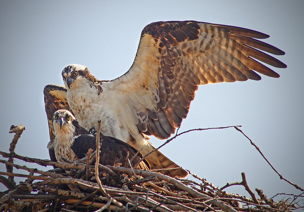Male (XA) and female osprey at Bucher Park, Shoreview, Mn., #0687