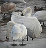 Trumpeter swans, #0641