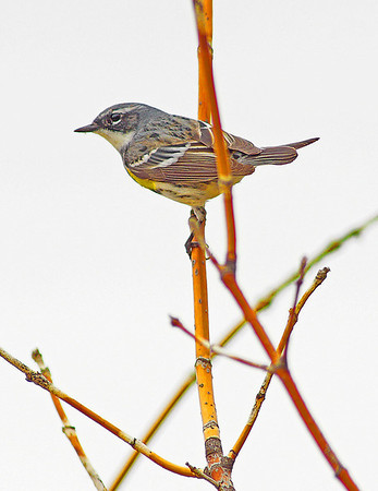 Finch in Shoreview, Mn - #0691