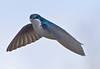 Tree Swallow at Grass Lake regional park,  in Shoreview, Mn. - -#0338