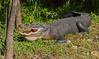 Toothy Aligator